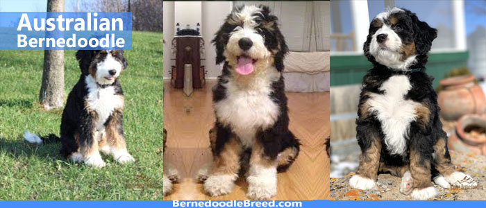 Australian Bernedoodle Coat, Colors, Temperament, Size, Life Period & More | A Complete Guide