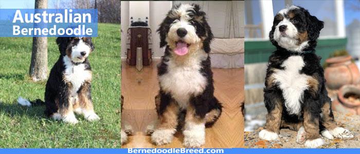 Australian Bernedoodle dog