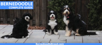 Bernedoodle Dog Mini, Standard, Tiny Complete Breed Information