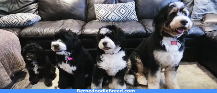 BERNEDOODLE Sizes Standard, Mini & Tiny