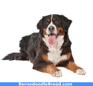 Bernes Mountain Dog