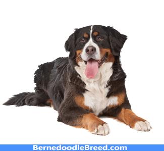 Bernes Mountain Dog