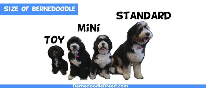 How big a bernedoodle can get
