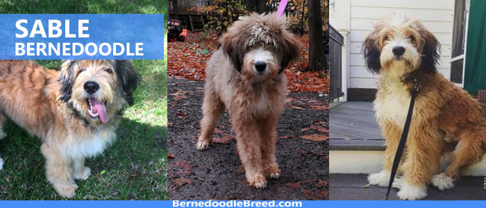 Sable Bernedoodle Coat Colors Temperament Size Life