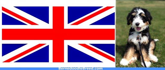 Bernedoodle breeders UK