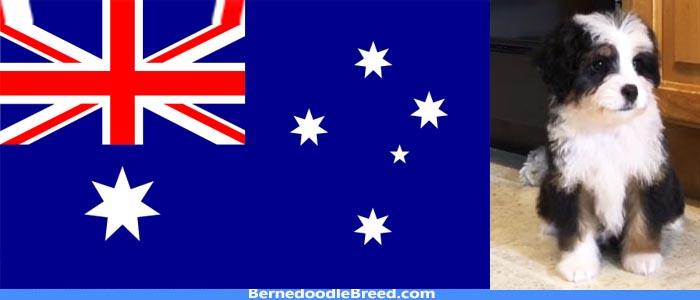 Bernedoodle breeders australia