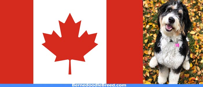 Bernedoodle breeders canada