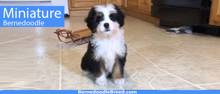 What is a Miniature Bernedoodle? Also known as Mini bernedoodle