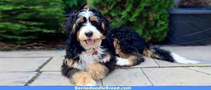 The Standard Bernedoodle, A Complete Guide For Dog Lovers