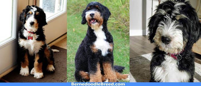 Who are SwissRidge Bernedoodles? Their Family, Staff, Facilities and Training Philosophy