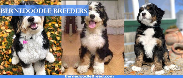 The Best Bernedoodle Breeders Around The World