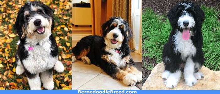 How much does a Bernedoodle Cost ? Factors Affecting Price