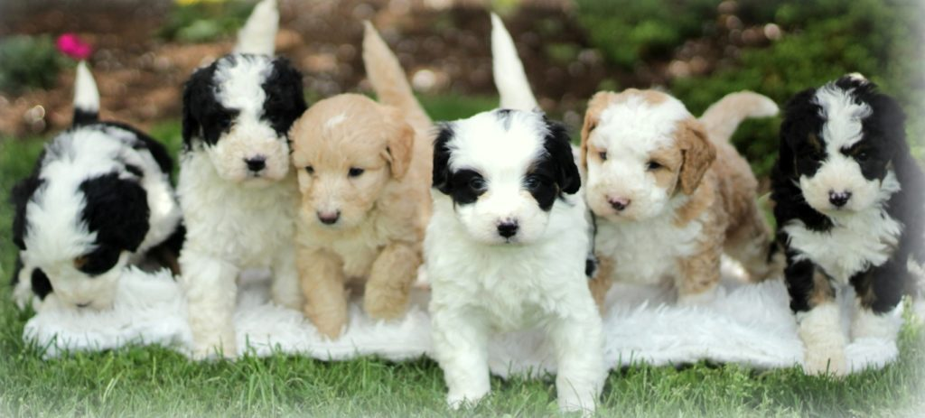 tiny bernedoodle puppies