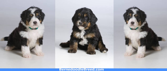 What is a Teddy Bear Bernedoodle? It's Size, Coat, Lifespan, Temperament!