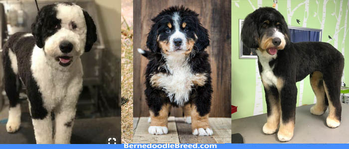Do Bernedoodles need haircuts? Brushing and Haircut Tips for Summer & Winter