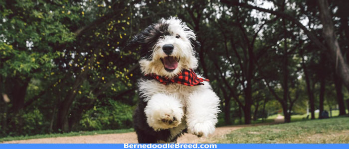 Do Mini Bernedoodle bark a lot? Training Tips to Resolve Barking Issue!