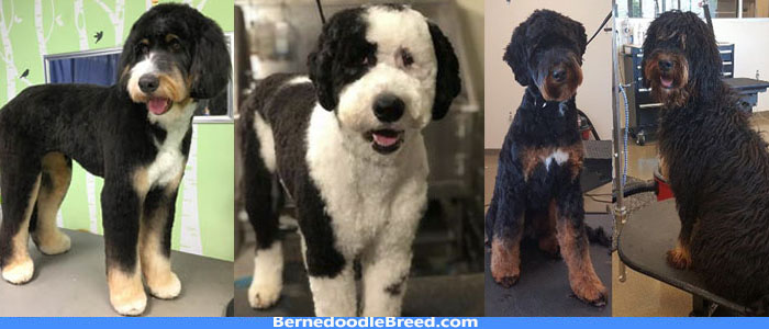 How Often should I Groom My Bernedoodle? Grooming Tips & Advice