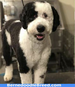 summer haircut of the Bernedoodle