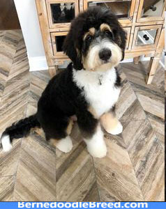 winter haircut of the Bernedoodle