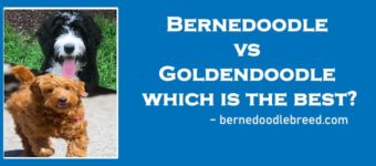 Bernedoodle vs Goldendoodle which is the best? Comparison & Decision!