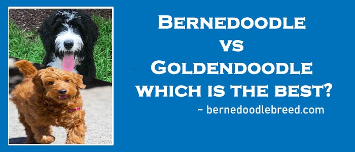 Bernedoodle vs Goldendoodle which is the best?