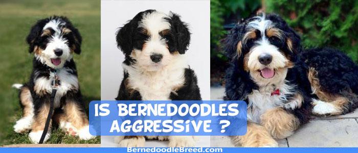 Is Bernedoodle aggressive? Temperament of a Bernedoodle