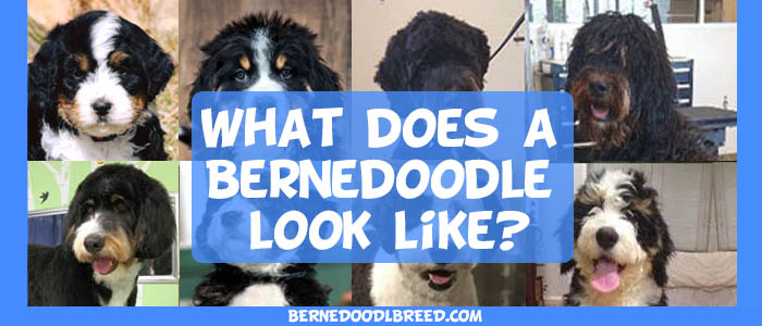 What does a Bernedoodle look like? Tri-color, Brindle, Merle & More!