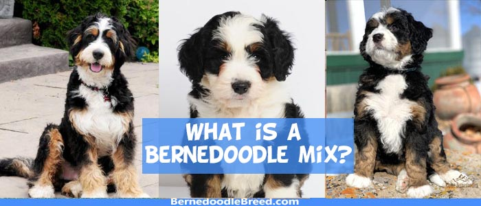 What is a Bernedoodle mix