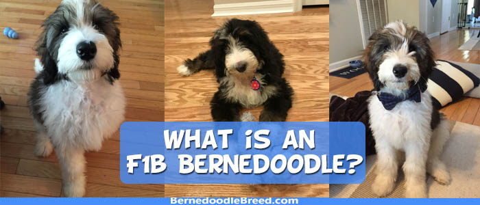 What is an F1b Bernedoodle? Temperament, Size, LifeSpan & Price