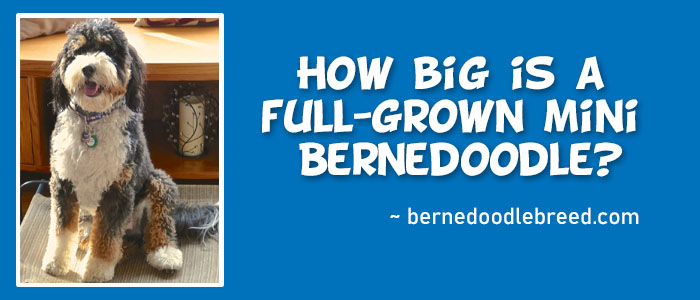 How big is a full-grown mini Bernedoodle?