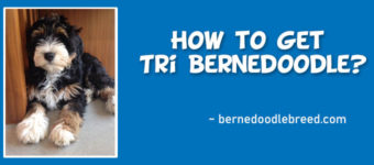 What Color Poodle is Used to Get tri-color Bernedoodle? How to Get Tri Bernedoodle?