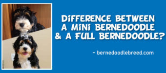 What is the difference between a Mini Bernedoodle and A Full Bernedoodle?