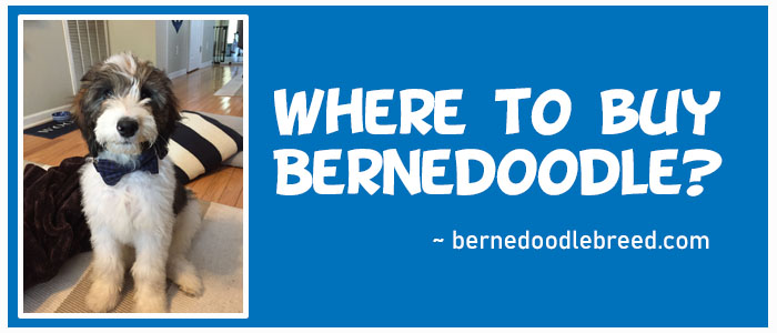 Where to buy a Bernedoodle? Complete Guide For Buyers