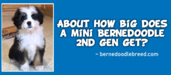 About how big does a mini Bernedoodle 2nd gen get? Detailed Answer