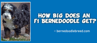 How big does an f1 Bernedoodle get? Talking about All 3 Sizes!