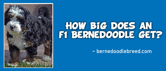 How big does an f1 Bernedoodle get