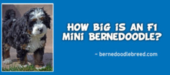 How big is an F1 mini Bernedoodle? Complete Detail