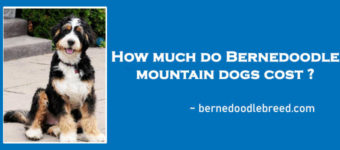 How much do Bernedoodle mountain dogs cost? Detailed Reply