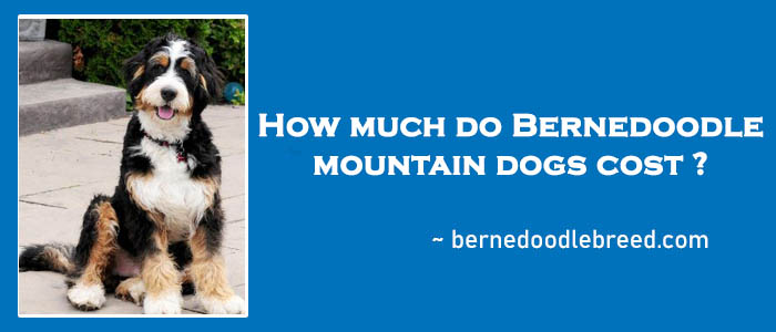 How much do Bernedoodle mountain dogs cost