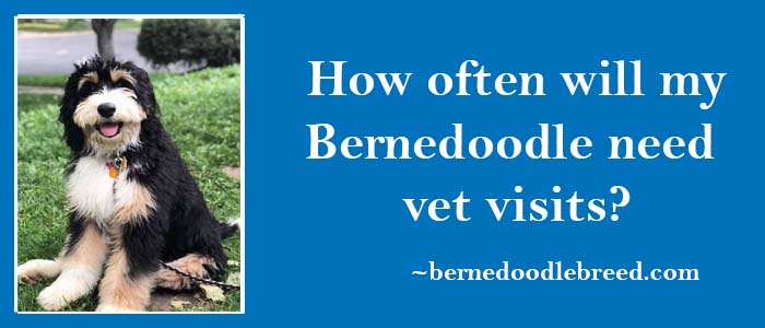 How often will my Bernedoodle need vet visits? Essential for Bernedoodle health