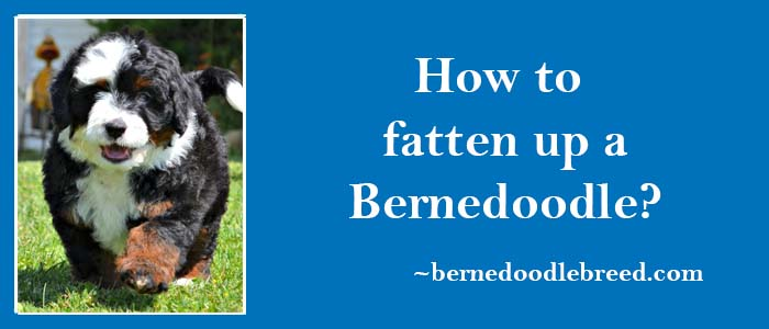 How to fatten up a Bernedoodle? Depends upon Bernedoodle diet, feeding habits, exercising, and daily routine