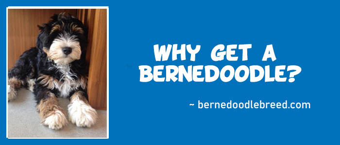 Why get a Bernedoodle? Habits and Features you need to know