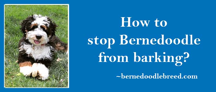 how to stop Bernedoodle from barking