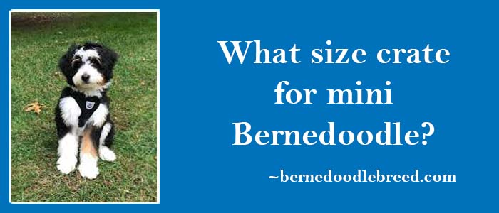 What Should be the Size Of Crate for Mini Bernedoodle? Size should be comfortable