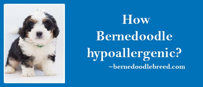 How Bernedoodle hypoallergenic? Hypoallergenic Bernedoodles are perfect for allergic suffers
