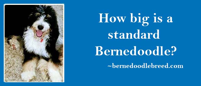 How big is a standard Bernedoodle