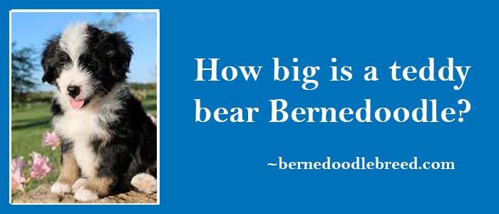 How big is a teddy bear Bernedoodle