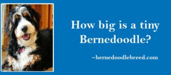 How big is a tiny Bernedoodle? Micro Mini Bernedoodle