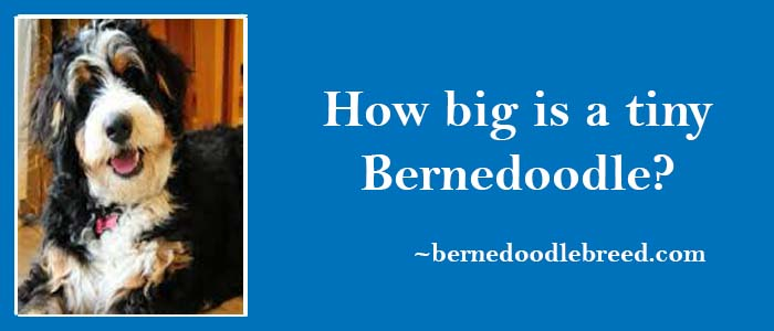 How big is a tiny Bernedoodle