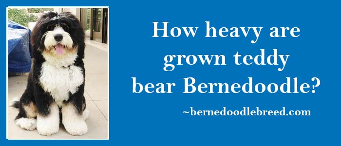 How Heavy are Grown Teddy Bear Bernedoodle? Weight Details of Grown Teddy Bear